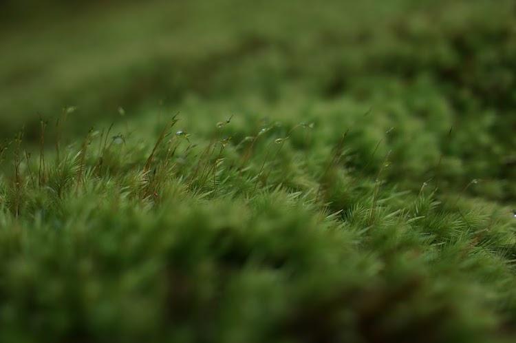 ヒノキゴケ 苔の里 叡智の杜
