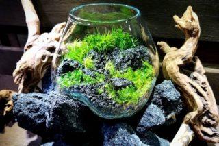 kabolo 植物 苔テラリウム