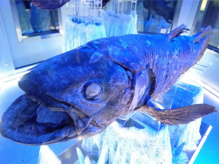 沼津港深海水族館シーラカンス・ミュージアムのシーラカンス冷凍個体2